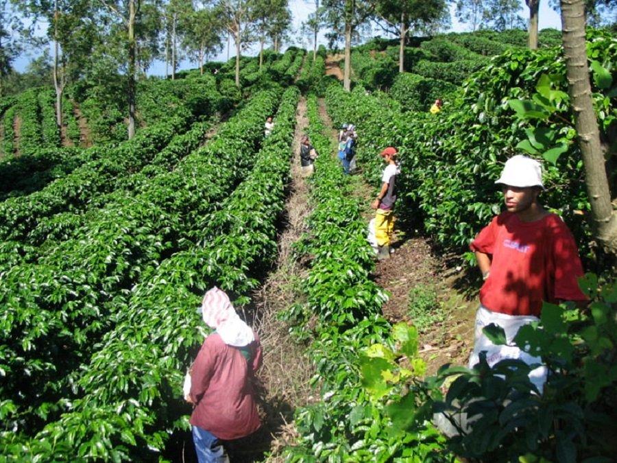 Producción de café en abril subió un 5%: Fedecafé
