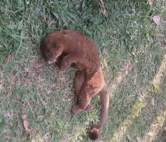 Por supuesta negligencia de la Policía Ambiental habría muerto un animal silvestre en Ibagué