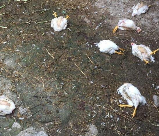 Bloqueo de vías en El Totumo provoca muerte masiva de pollos