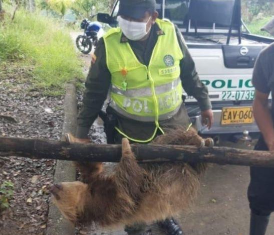 Rescataron a un oso perezoso que se metió a un gallinero en una finca de Palocabildo