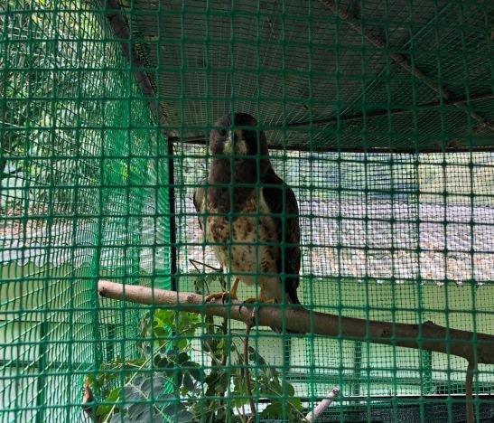 Cortolima en conjunto con autoridades buscan evitar caza de águilas cuaresmeras