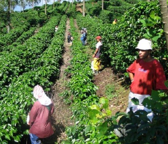 En pico de pandemia, cafeteros colombianos se alistan para recoger la segunda y mayor cosecha del año