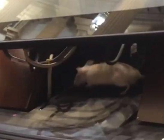 HD-- ratas en el Congreso- 11 de diciembre