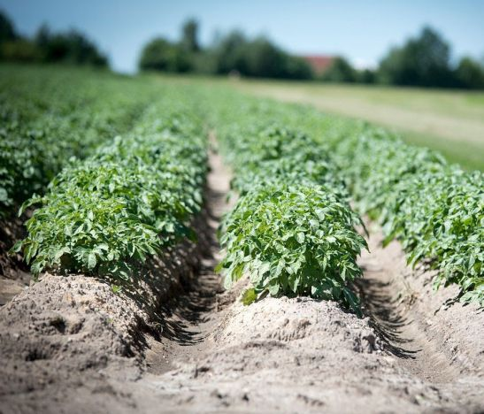 Agricultores de Murillo piden apoyo para vender papa en peajes del norte tolimense