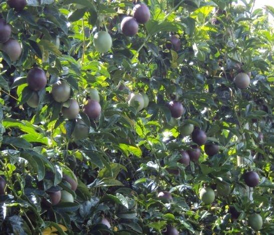 Productores de gulupa en Santa Isabel recibieron materiales e insumos para sus cultivos