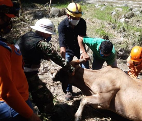 Se necesita un helicoptero para rescatar una vaca embarazada en Ibagué