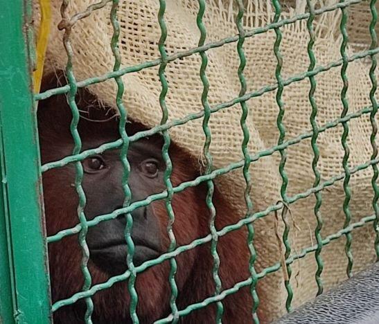En pronóstico reservado estado de salud del mono aullador 'Coco' de Piedras