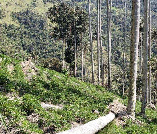 Cortolima sanciona a dos presuntos cultivadores de arracacha por afectar bosque de Palma de Cera