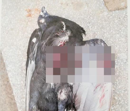 Veedor del Parque Murillo Toro denuncia presencia perros de razas bravías sin bozal en centro de Ibagué y ataques a las palomas del sector