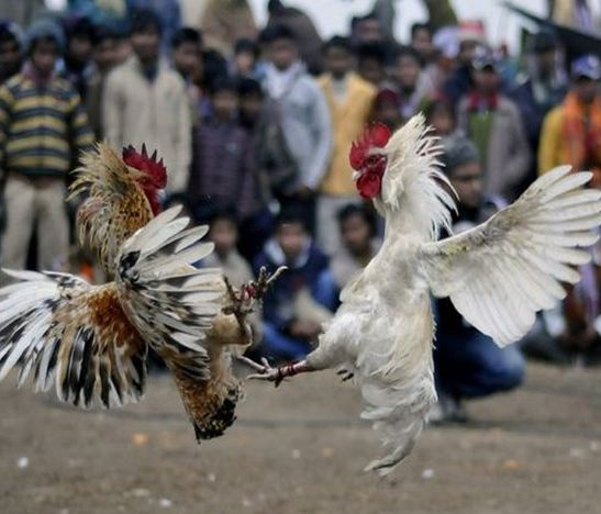 pelea gallos hd