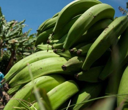 Alcalde de Venadillo y empresario Gustavo Ramírez anuncian que el día de mañana será la inauguración de la nueva planta de procesamiento de plátano y yuca
