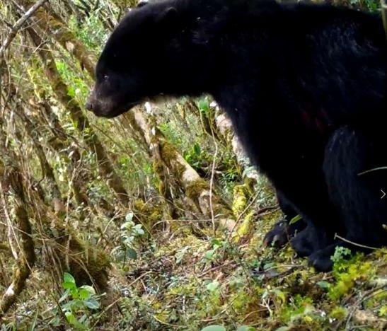 Importante presencia de osos de anteojos en el Tolima