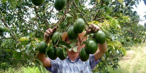 Cultivos de aguacate en el Tolima