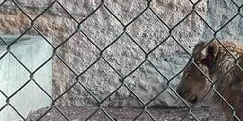 León desnutrido en zoológico de Venezuela.