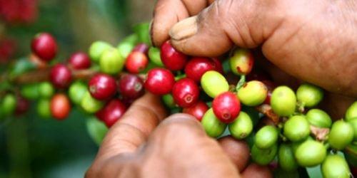 Cafeteros del sur del Tolima