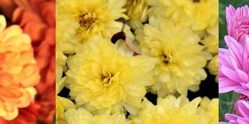 Crisantemos la flor de la esperanza